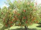 Bottlebrush Tree, Jamaica