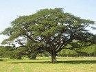 Guango Tree, Jamaica