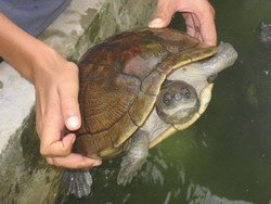 Jamaican Pond Turtle