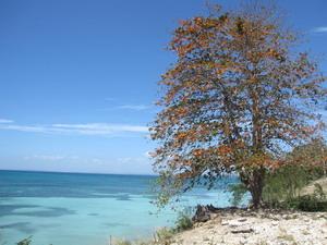 Almond Tree Jamaica