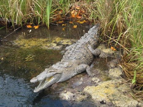 jamaican crocodile - photo #15