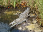 Crocodile, Jamaica