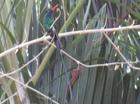 Poinciana Tree, Jamaica