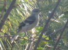 Nightingale, Jamaica