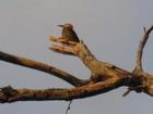 Woodpecker, Jamaica