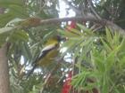 Oriole, Jamaica