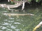 Crocodile Black River Safari
