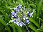 Petchary/ Agapanthus Lilly, Jamaica