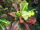 Croton, Jamaica