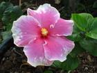 Hibiscus, Jamaica