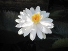 Water Lilly, Jamaica