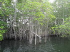 Mangroves on Black River