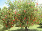 Bottlebrush Tree, Jamaica