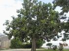 Breadfruit Tree, Jamaica