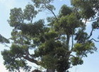 Cotton Tree, Jamaica