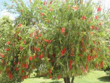 Jamaican Pictures Beautiful Trees Of Jamaica From