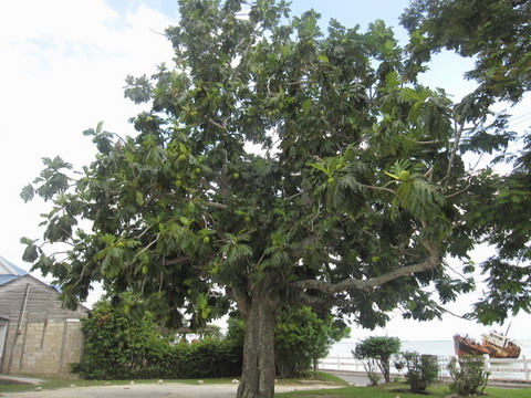 Jamaican pictures - Beautiful trees of Jamaica, from ...