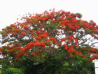 Poinciana Tree, Jamaica