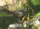 Blackbird, Jamaica