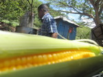 Boiled Corn Jamaica
