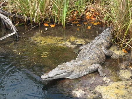 jamaican crocodile - photo #4