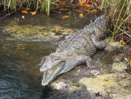 jamaican crocodile - photo #5