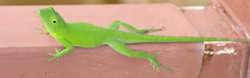 Jamaican Green Lizard