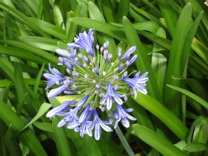 Agapanthus Lilly Jamaica