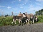 Donkey, Jamaica
