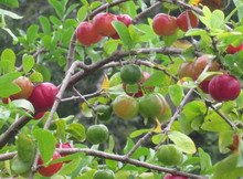 Cherry Jamaican Fruit