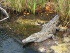 Jamaican Crocodile