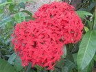 Ixora Flower, Jamaica