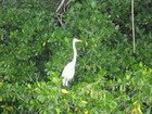 Greater Egret on the Black River
