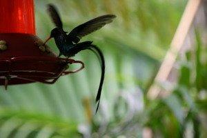 Doctor Bird Jamaica