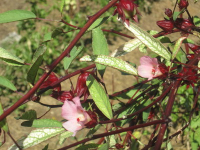 Sorrel Flower