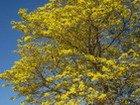 Poui Tree, Jamaica