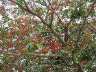 Bird Cherry Tree, Jamaica