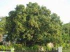 Mango Tree, Jamaica