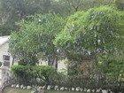 Red Bull Tree, Jamaica