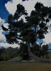Cotton Tree Jamaica