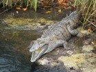 Crocodile basking in sun